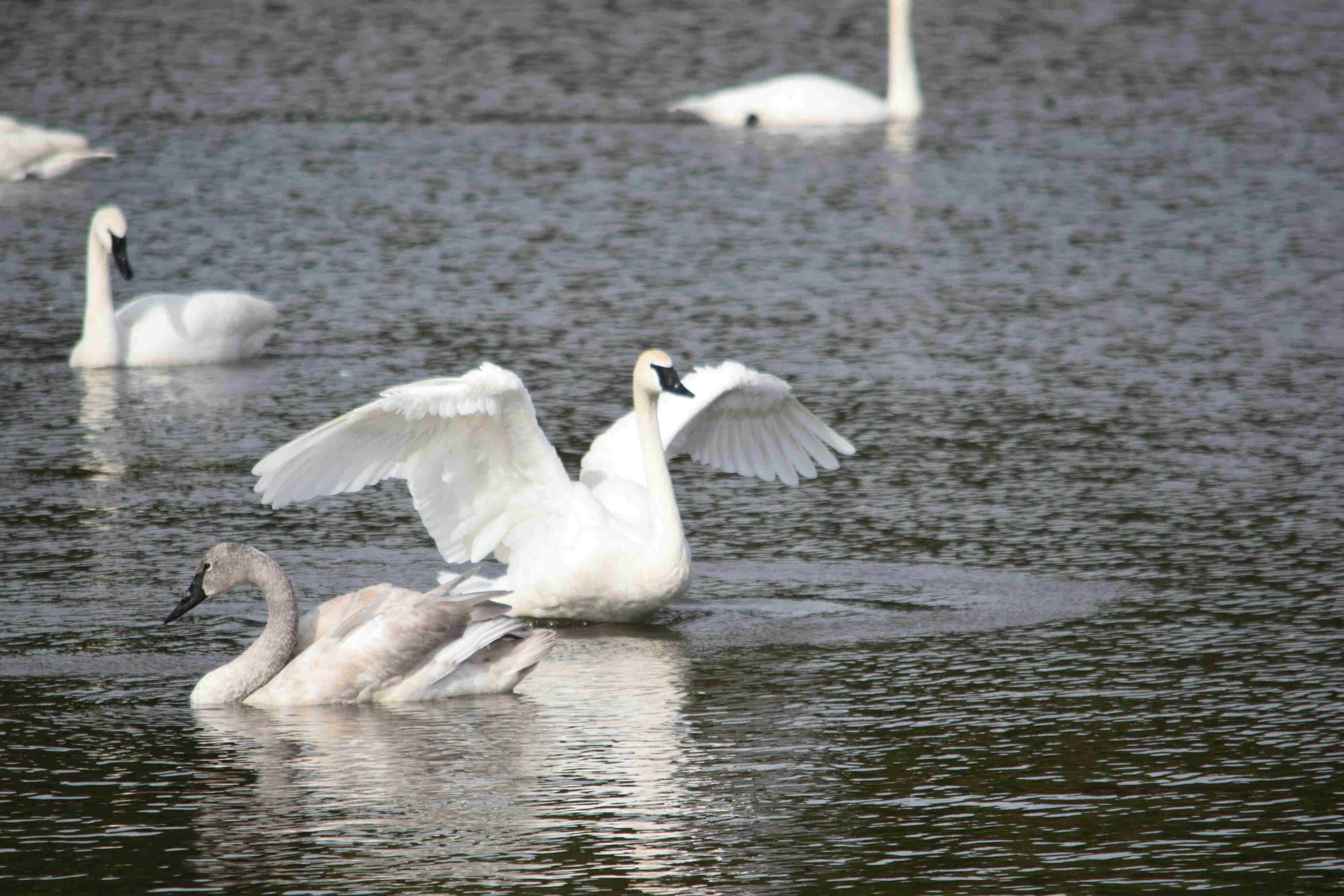 Swans 1_web