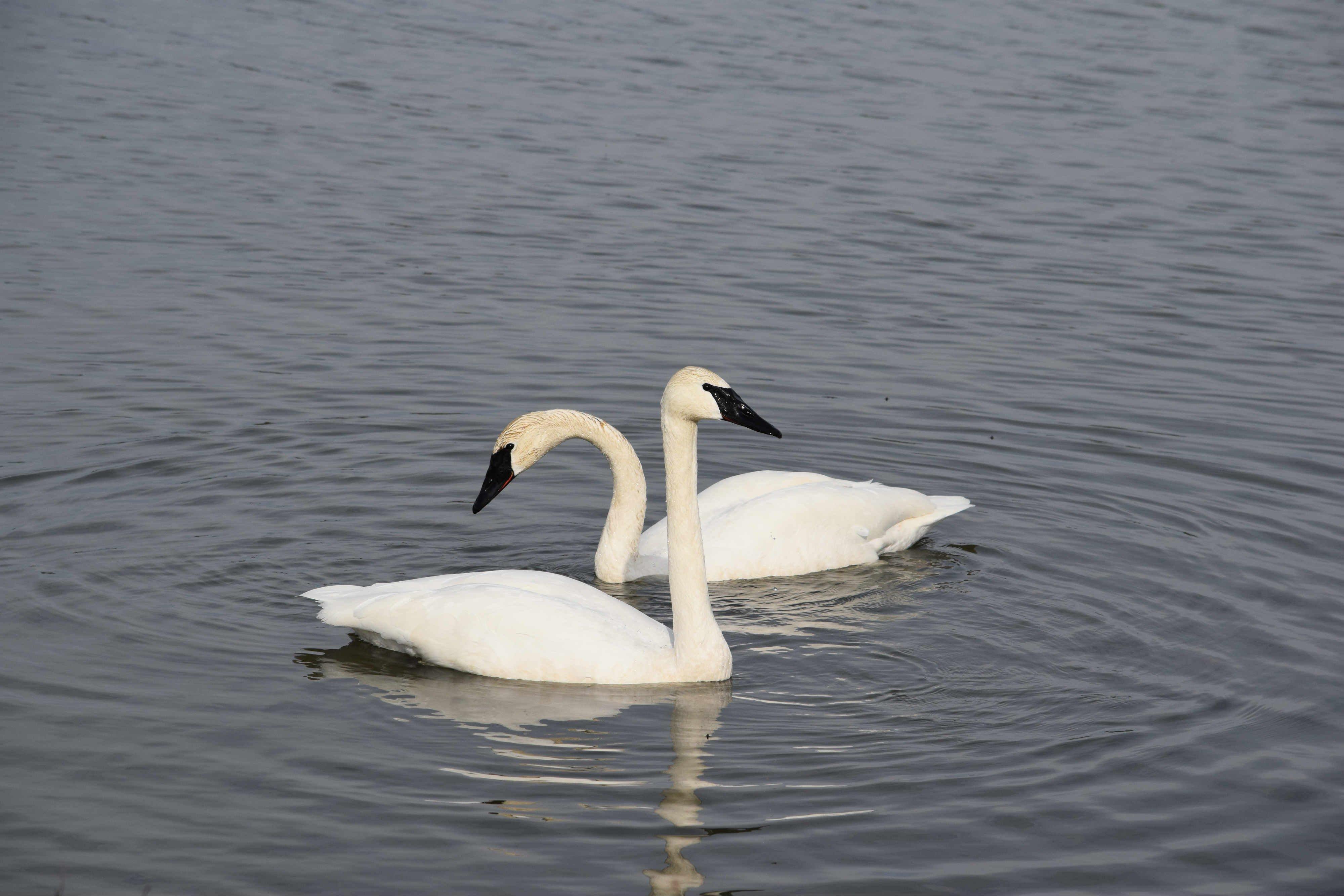 Swans 2_web