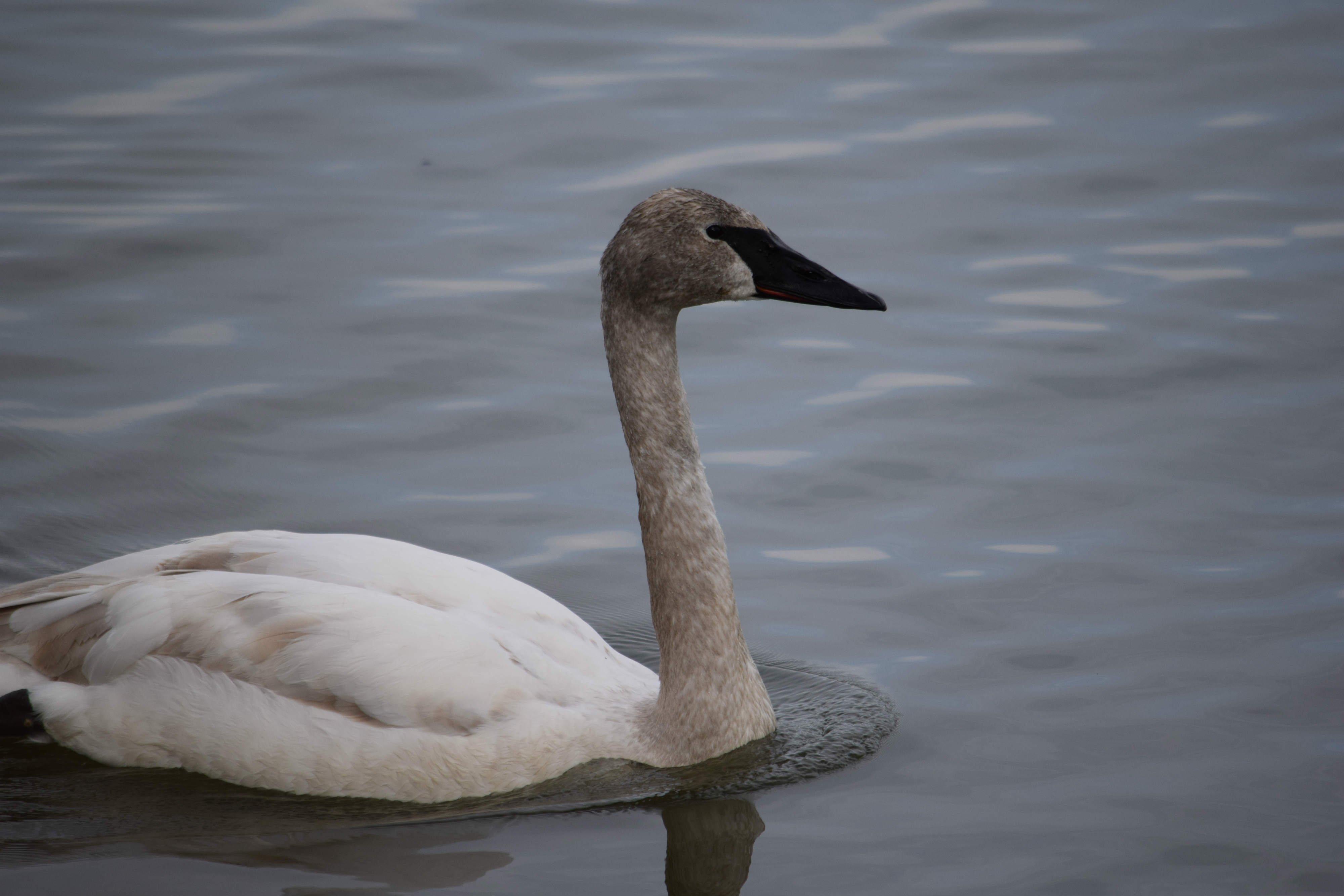 Swans 3_web