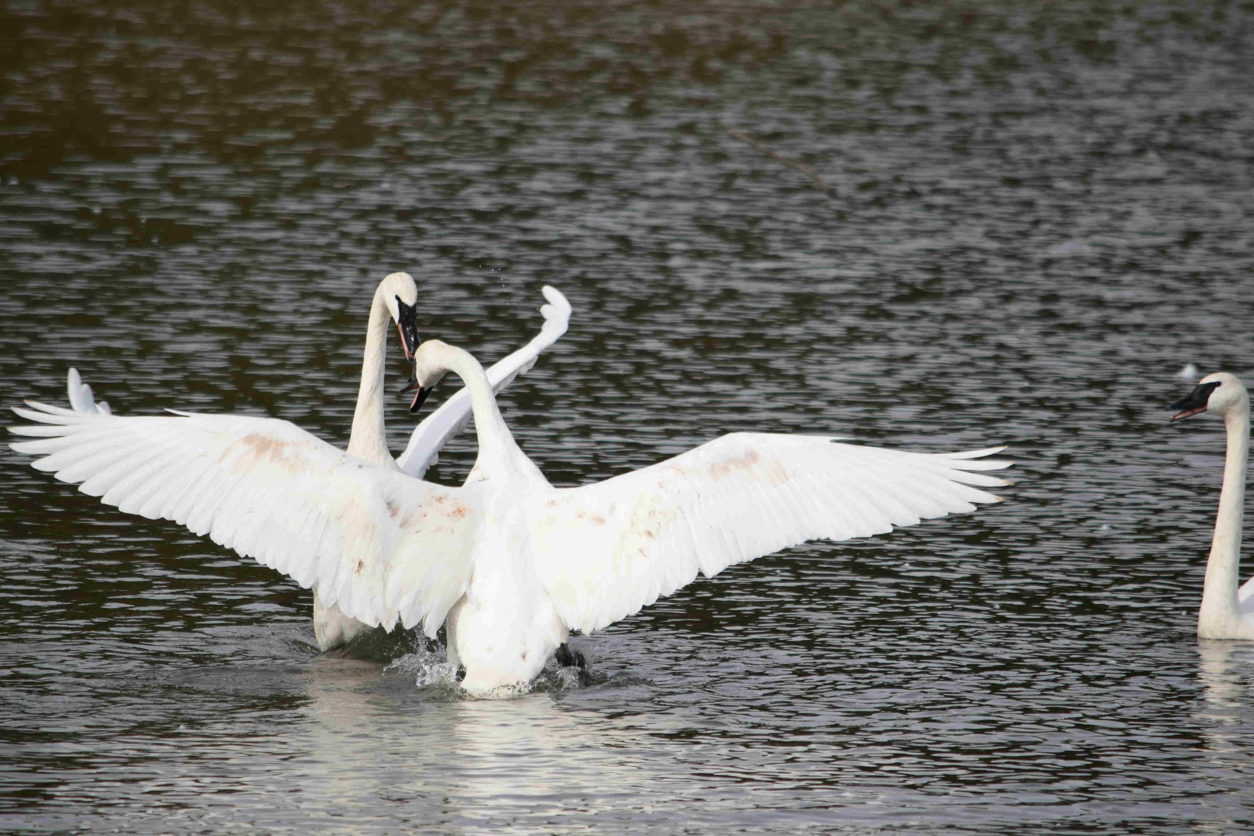 Swans 4_web